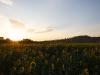 ...ein Sonnenblumenfeld Foto musste einfach...